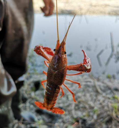 小龙虾内真有寄生虫吗?专家用实验告诉您答案